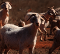 RANGELAND GOAT PRODUCTION IN WESTERN NSW: WHERE ARE THEY NOW?