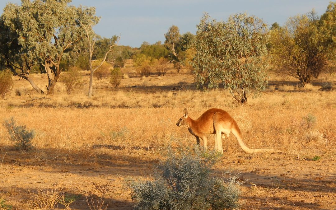 A US BAN ON KANGAROO LEATHER WOULD BE AN ANIMAL WELFARE DISASTER – AND A MISSED FARMING OPPORTUNITY